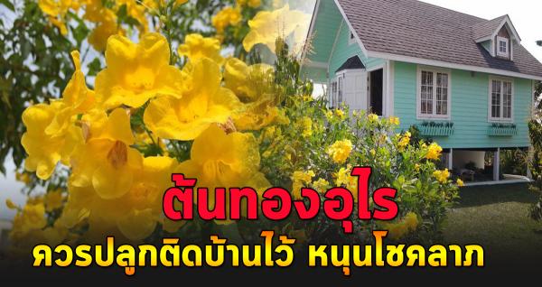 ต้นทองอุไร ดอกไม้มงคล ปลูกหนุุนโช ค ลาภ เสริมบารมี